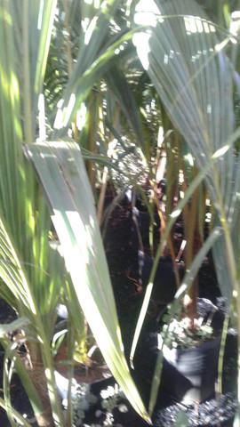Viveiro do coco anão-Grande Promoção- Temos frutíferas produzindo-citrícas - Foto 4