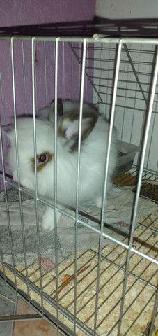 Mini coelha Fêmea, filhote apenas 6 meses de vida