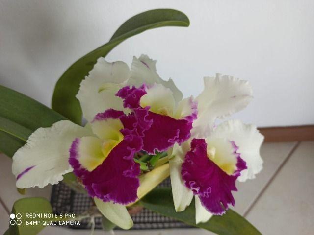 Orquideas - Diversas - Foto 2