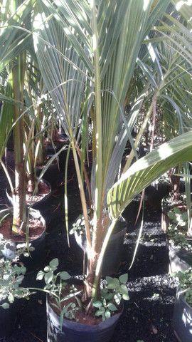 Viveiro do coco anão-Grande Promoção- Temos frutíferas produzindo-citrícas - Foto 5