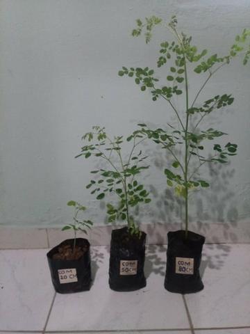 Mudas Orgânicas de Moringa Oleífera - Foto 5
