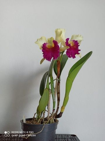 Orquideas - Diversas - Foto 5