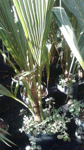 Viveiro do coco anão-Grande Promoção- Temos frutíferas produzindo-citrícas - Foto 3