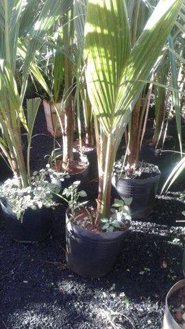 Viveiro do coco anão-Grande Promoção- Temos frutíferas produzindo-citrícas