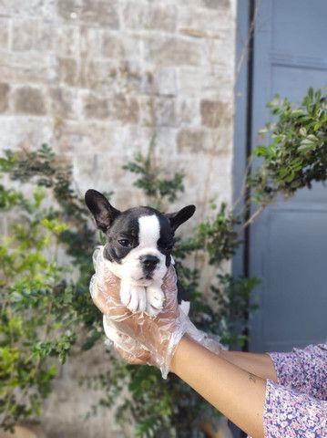 Bulldog Francês, filhotes a pronta entrega! whatsApp 113565-1269 - Foto 6