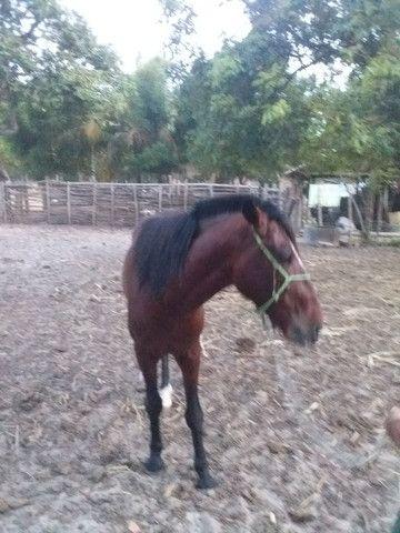 Vendo um cavalo de 5 anos