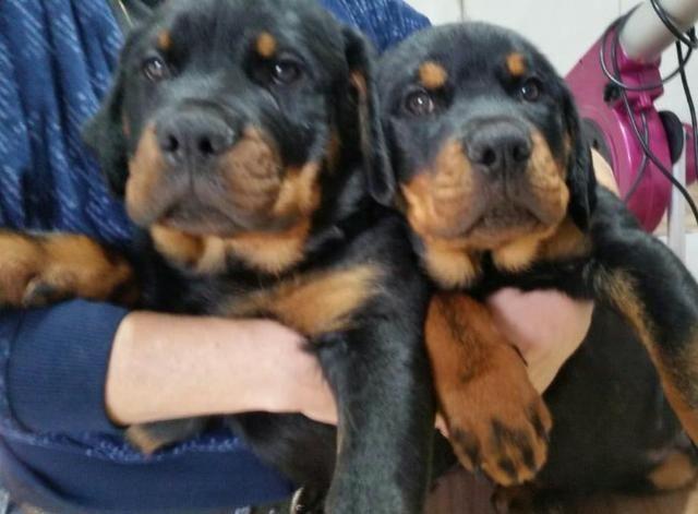Filhotes de Rottweiler c/ Pedigree