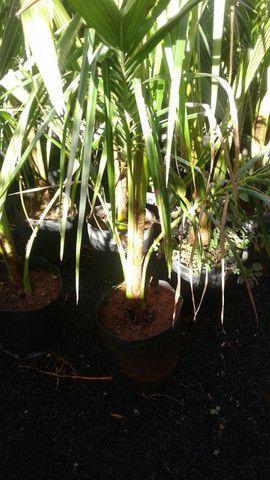 Viveiro do coco anão-Grande Promoção- Temos frutíferas produzindo-citrícas - Foto 2