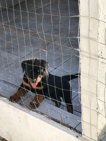 Filhotes de Rottweiler - Foto 6