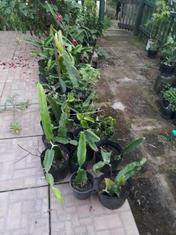 Mudas de pitaya orejona - Foto 3