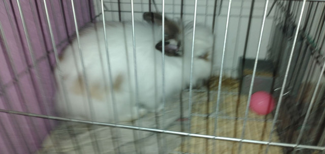 Mini coelha Fêmea, filhote apenas 6 meses de vida - Foto 2