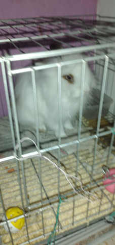 Mini coelha Fêmea, filhote apenas 6 meses de vida - Foto 3