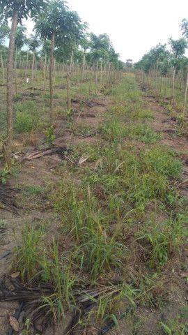 Tutor vivo para plantação de pimenta do reino - Foto 3