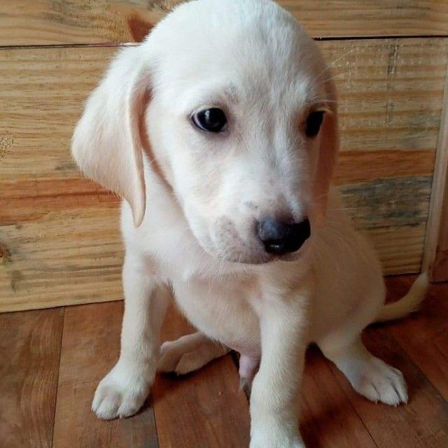 Labrador com Pedigree para alegrar toda a família