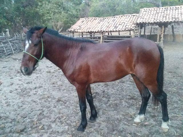 Vendo um cavalo de 5 anos  - Foto 3