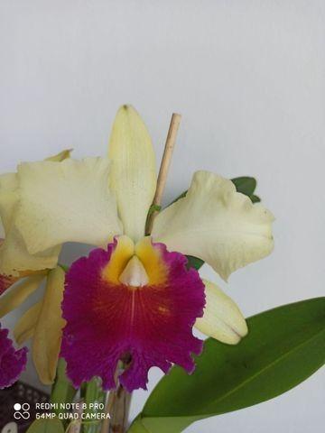 Orquideas - Diversas - Foto 3