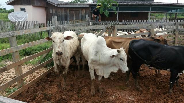 Compro gado preço a combinar no curral