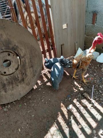Galinha da Angola - Foto 2