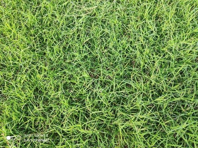Sementes de grama Pensacola, bermuda e Batatais - Foto 5