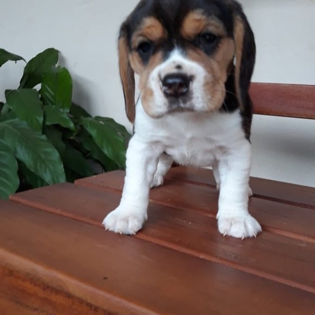 Beagle mine to Ceará /@canilcanaa - Foto 5