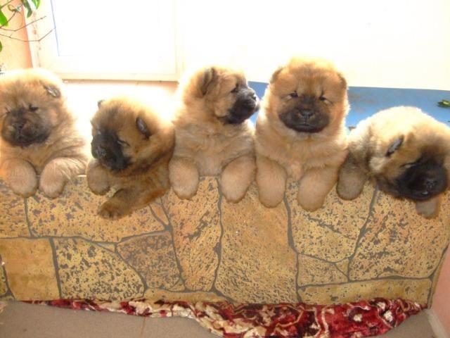 Filhotes de ChowChow lindos bebes, com garantias e procedência! - Foto 2
