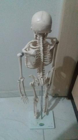 Esqueleto em Gesso / anatomia / medicina / enfermagem / fisioterapia / radiologia - Foto 2