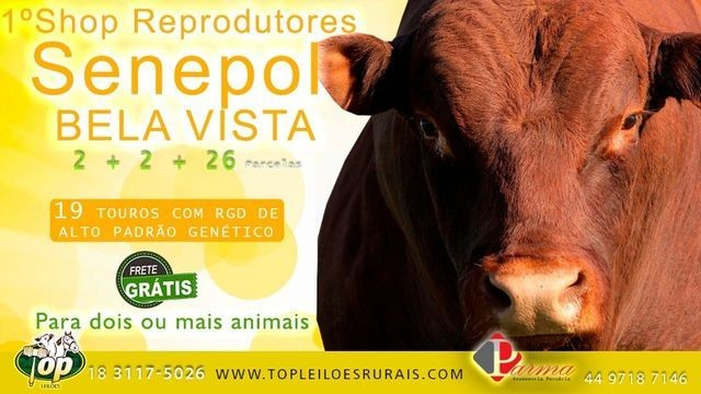 [[0AU]] Shop Senepol PO Super Touros em 30 parcelas - - Foto 3