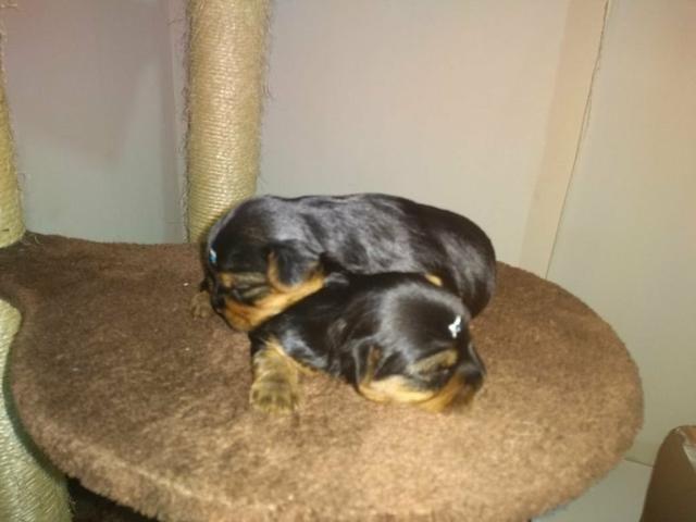 Excelente linhagem de filhotes machos de yorkshire terrier