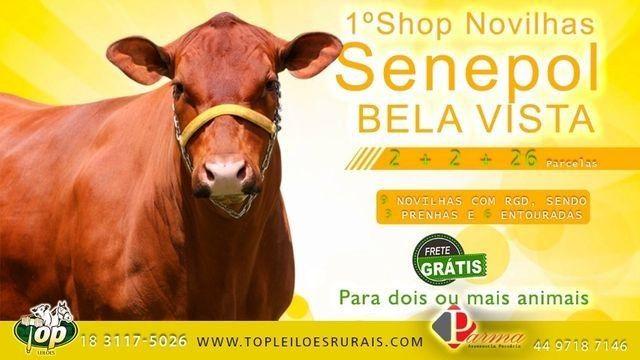 [[0AU]] Shop Senepol PO Super Touros em 30 parcelas - - Foto 4