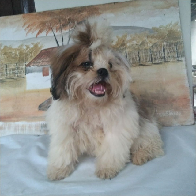 Lindos Shih Tzu macho com Pedigree disponivel - Foto 2