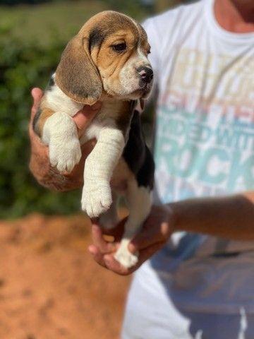 Top beagle / @canilcanaa / CE - Foto 2