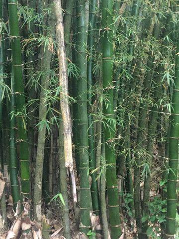Bambu gigante , pra pra quem trabalha com artesanato - Foto 2