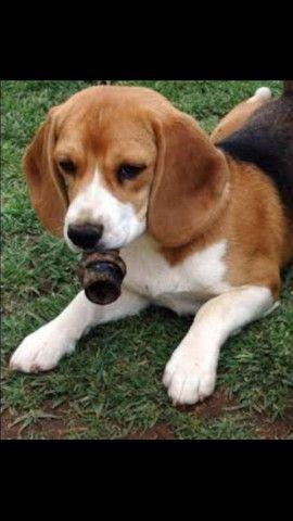 Beagle Tricolor Miniatura Com Pedigree
