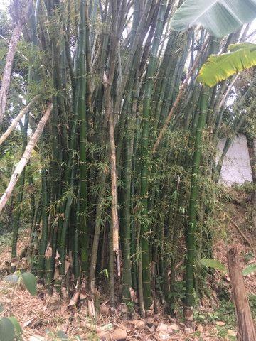 Bambu gigante , pra pra quem trabalha com artesanato