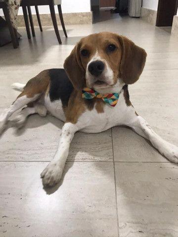 Beagle Tricolor Miniatura Com Pedigree  - Foto 2