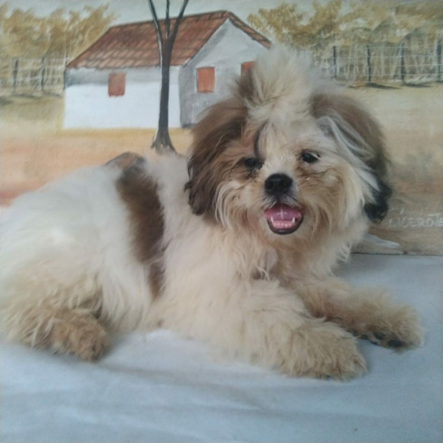Lindos Shih Tzu macho com Pedigree disponivel - Foto 3
