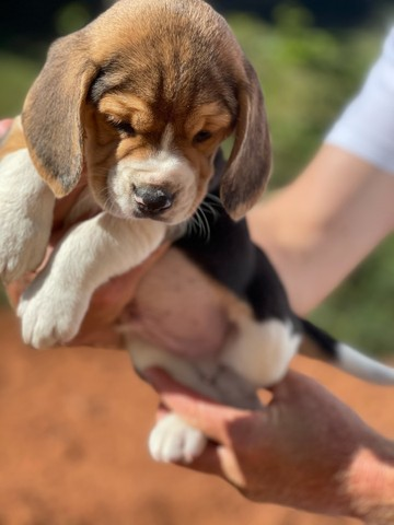 Top beagle / @canilcanaa / CE
