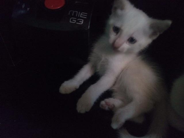 Duas lindas gatinhas brancas de olhos azuis