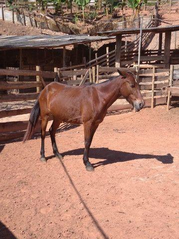 Égua castanha macha batida - Foto 3