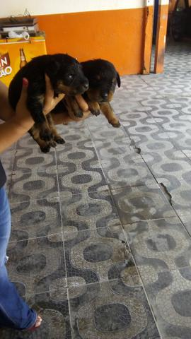Rottweiler Filhote Puro Tem 30 Dias de Nascido 6 Machos e 1 Femea