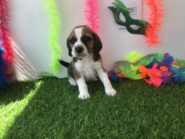 Fêmea beagle