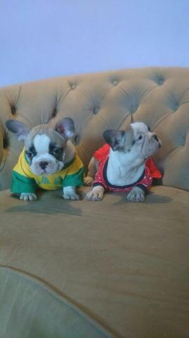 Bulldog francês promoção