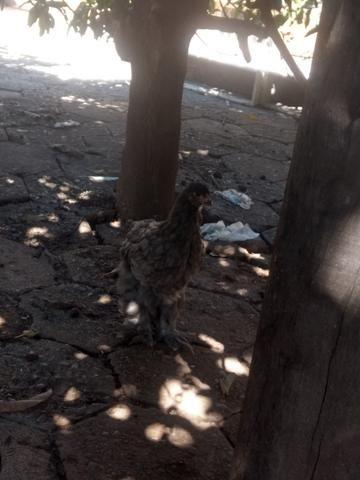 Franguinhos e pintinhos raça Brahma - Foto 2