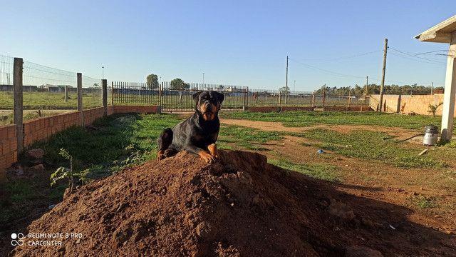 Filhotes rottweiler com pedigree. - Foto 3