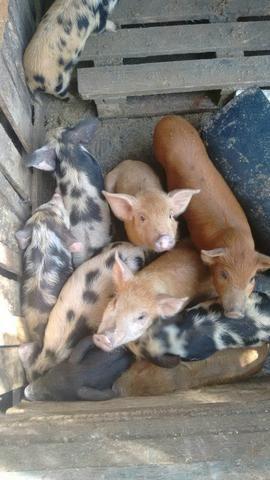 Porco para faser linguíça e leitoes