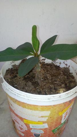 Planta coroa de cristo - Foto 2