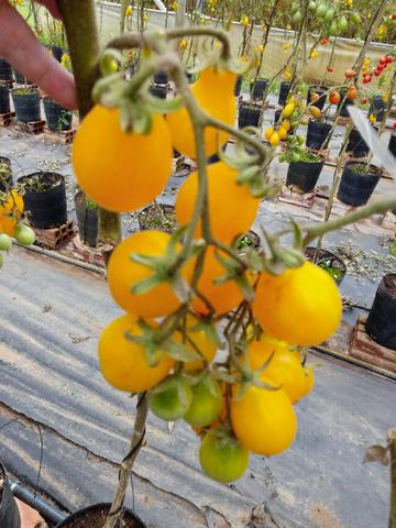 Tomate Uva / Grape Tomato - Foto 4