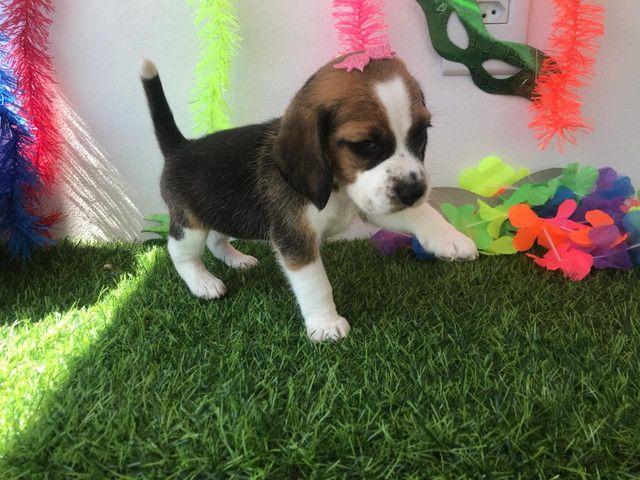 Fêmea beagle  - Foto 2