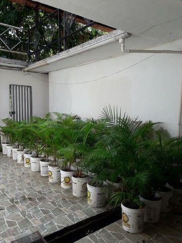 VENDO 200 MUDAS DE PALMEIRAS - Foto 4