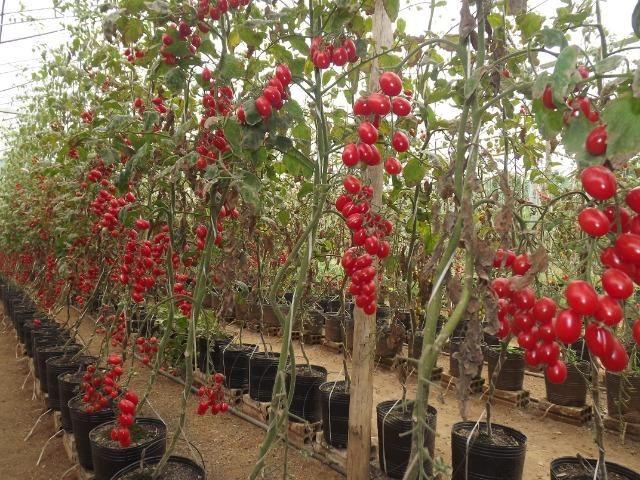 Tomate Uva / Grape Tomato - Foto 6